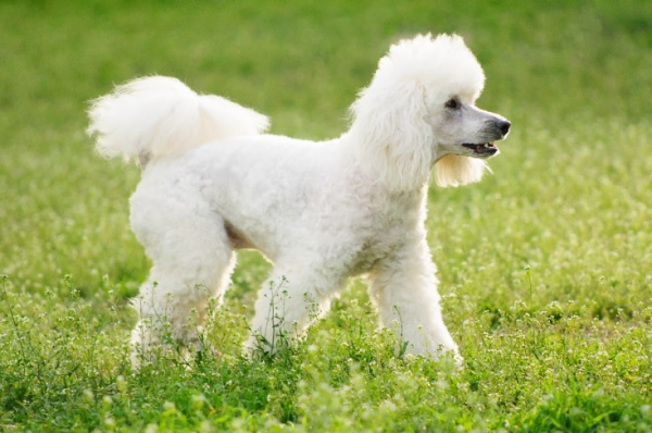 Breeds Of Small Dogs With Big Ears